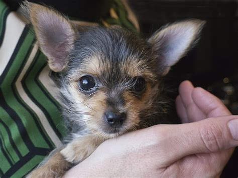 chihuahua yorkie mix puppies 13 pictures of chihuahua yorkie mix a k a chorkie and breed info animalso