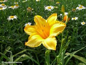 picture of yellow flower daylily