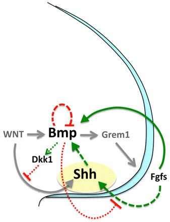 a bmp shh negative feedback loop restricts shh expression