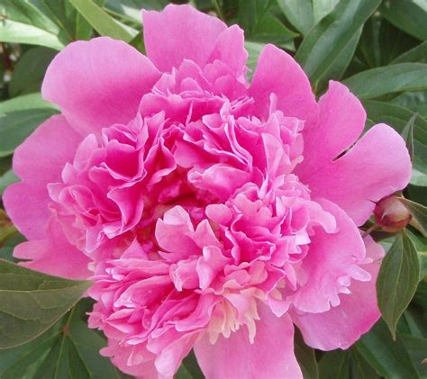 peony growing tips how to care for peonies