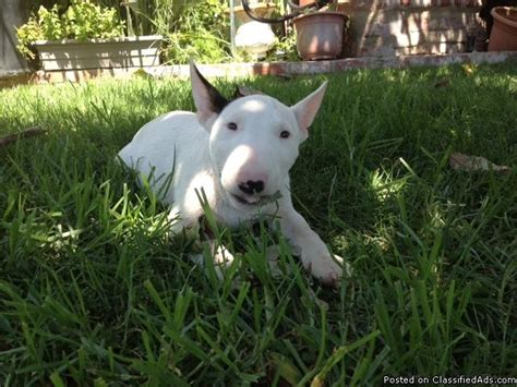 bull terrier puppies price miniature bull terrier puppies for sale in nuys california breeds picture