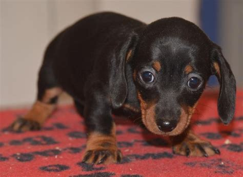 dachshund puppies for sale in des moines iowa the 25 best ideas about miniature dachshund for sale on daschund puppies