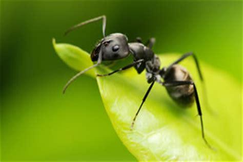 ameisenplage  haus garten backpulver ameisengift