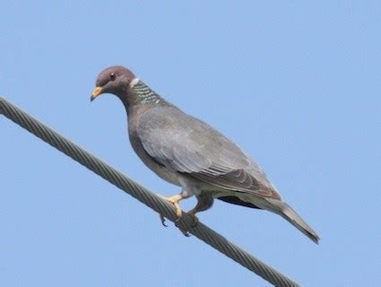band tailed pigeon identification all about birds