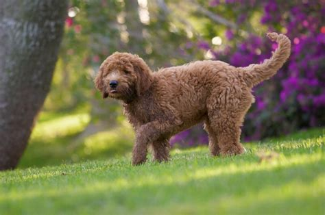goldendoodle puppy drinks a lot of water 17 best images about dogs on portuguese water
