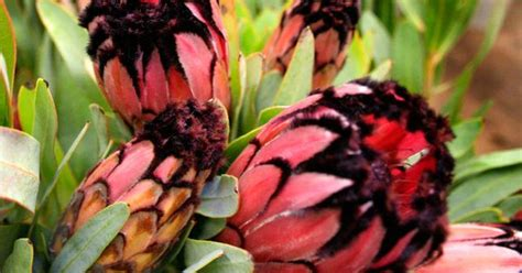 protea tips   soft    feathers