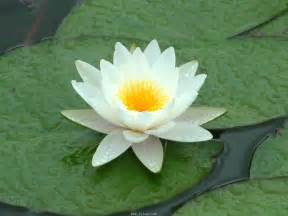 Why Lotus Is Our National Flower