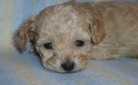 what to give a yorkie for diarrhea care tips parvo cure for your puppy