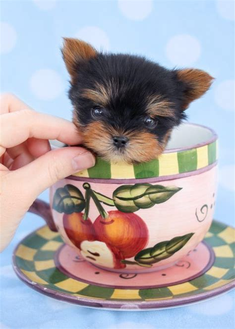 teacup yorkie allergies 17 best ideas about teacup puppies on teacup puppies teacup dogs and