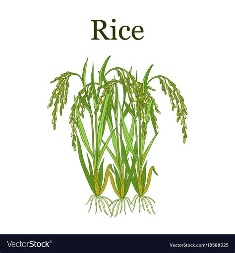 stock images royalty free images vectors rice plant royalty free vector image vectorstock