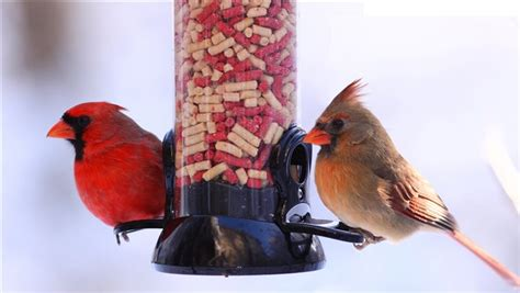 feed backyard birds this season for the greater global