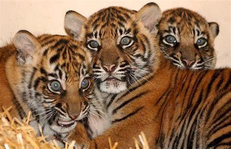 Pasir Zeolit Vs Serbuk Kayu harimau sumatra jual peralatan perlengkapan dan