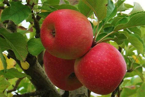 apple australia abc rural australian broadcasting corporation