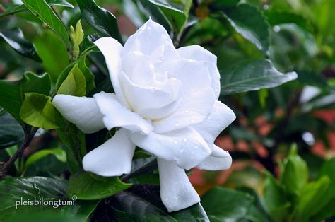 Tanaman Serai Wangi By Bb Plant gardenia perfume of cigudeg pleis bilong tu mi