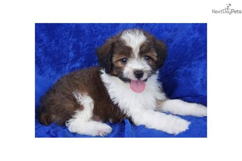aussiedoodle puppies for adoption aussiedoodle puppies for adoption hypoallergenic puppies pets world