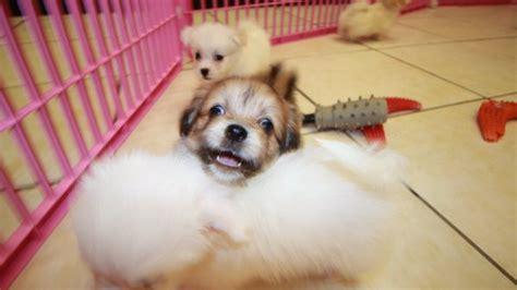 havaton puppies for sale havaton puppies for sale in atlanta ga at puppies for sale local breeders