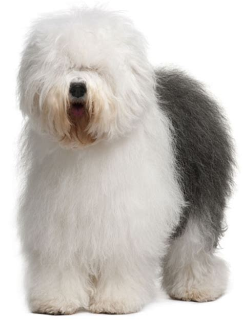 Sheepdog Shedding by Sheepdog Information Facts Pictures