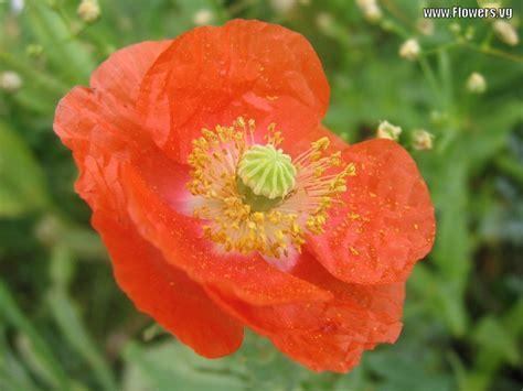 flowers photos orange poppy flower imgstocks com