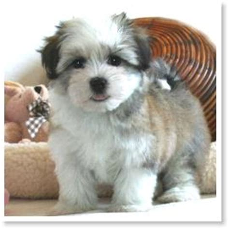 havanese puppies for sale in sacramento coton de tulear havanese by cornerstone