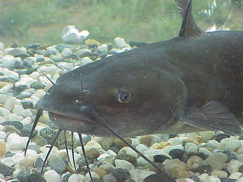 catfish has about 100,000 taste buds