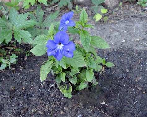 gardensonline browallia speciosa