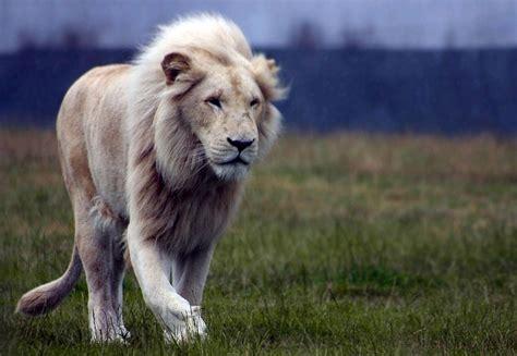 imagenes el blanco fotos del extra 241 o le 243 n blanco panthera leo krugeri
