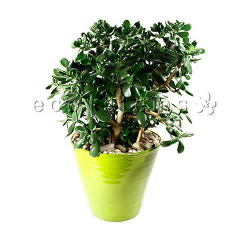 jade plant daily flowers delivery toronto ecostems