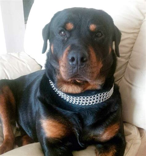 gateway rottweilers rottweiler puppies looking for a home breeds picture