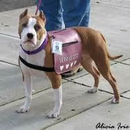 can pitbulls be service dogs can a pit bull be a service