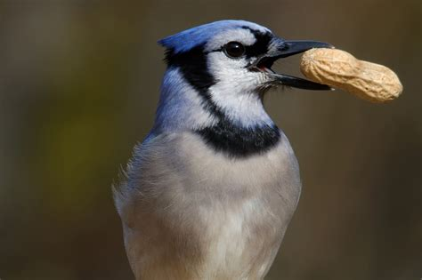 wild birds unlimited photo share hungry blue jay