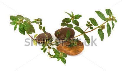 anak pokok ara tanah  dijual murah pembekal anak