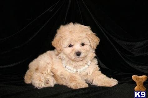 teacup shih tzu puppies for sale in ta fl best 25 teacup maltipoo ideas on