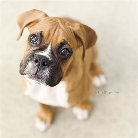 boxer puppie boxer for of