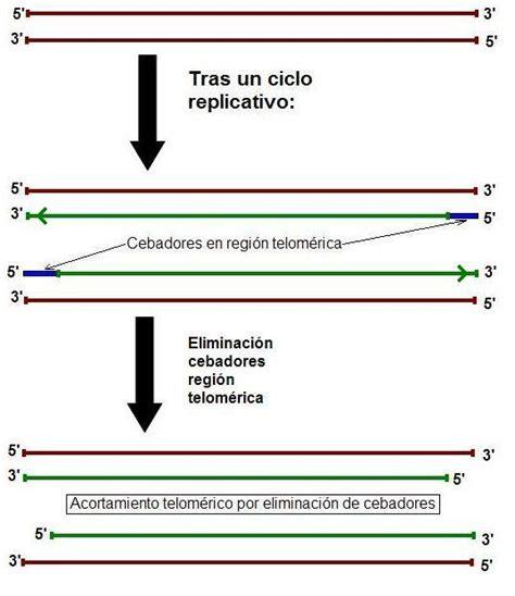cadena de adn de 15 nucleotidos telomerasa