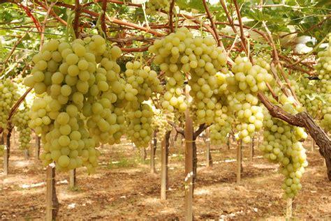 uva da tavola uva da tavola coldiretti bari cagna ottima per