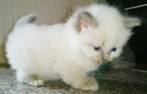 ragdoll cats for sale ragdoll kittens for sale larbert stirlingshire pets4homes