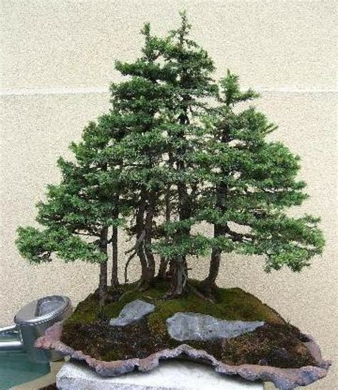 Bonsai Baum Arten 2899 by Bonsai Baum Arten Bonsai Baum Kaufen Bonsai Arten