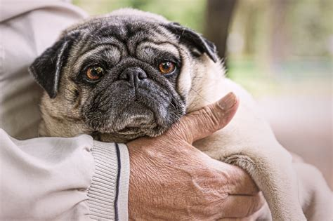 why pugs 5 reasons why pugs make great therapy dogs the pug diary
