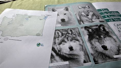 washington wolf census finds  packs breeding pairs
