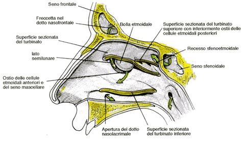 infiammazione orecchio interno naso struttura anatomica infiammazione