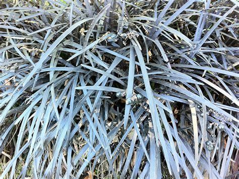 schlangenbart gras schwarzer schlangenbart gras ophiopogon planiscapus niger