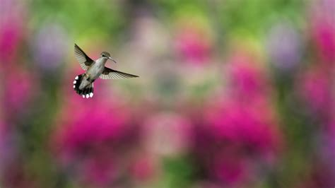 lovely hd hummingbird wallpapers