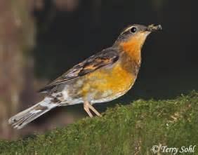 varied thrush south dakota birds and birding