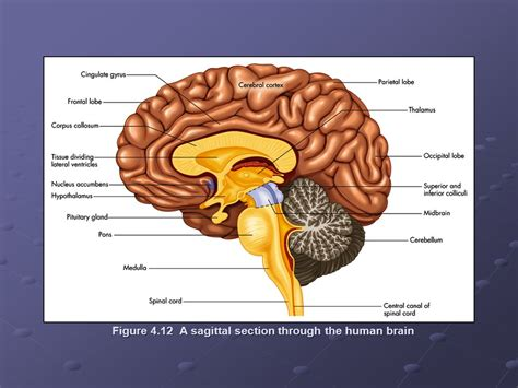 human brain sagittal section anatomy of the central nervous system ppt download
