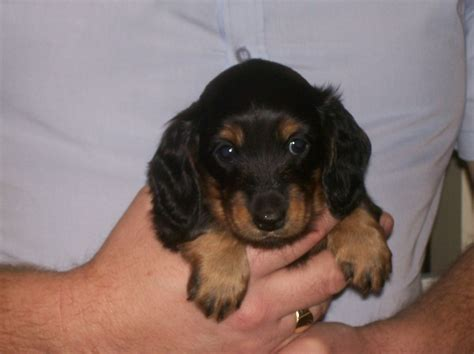haired miniature dachshund puppies haired miniature dachshund puppy monmouth