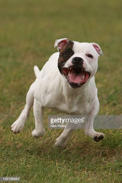 bull terrier images staffordshire bull terrier stock photos and pictures