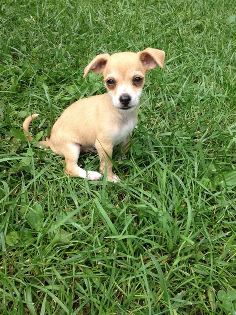 chihuahua terrier mix puppies chihuahua terrier mix puppies images