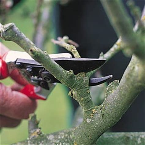how to prune fruit trees how to prune fruit trees by gourmandise ifood tv