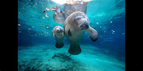 Manatee County Florida Records Record Breaking Number Of Manatees Died In Florida In