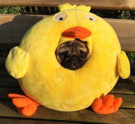 pugs in louisiana 40 momentos m 225 s graciosos en la vida de un pug